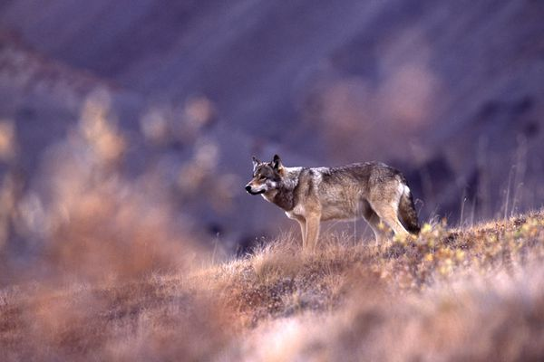 A wolf stands on a ridge in Denali National Park during the park's annual road lottery.