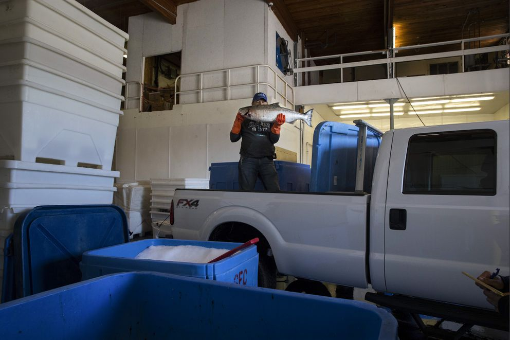 Swinomish tribe Chairman Brian Cladoosby drops off the salmon he caught the day before at the tribe's fish plant in Skagit County, Wash., May 15, 2018. The U.S. Supreme Court on Monday sided with the tribe in a decadeslong legal battle over whether the state must repair salmon habitats. (Ruth Fremson/The New York Times)