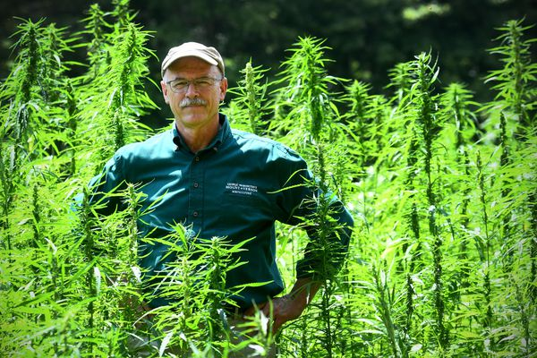 Dean Norton, Mount Vernon's director of horticulture, stands amid the estate's newest crop, hemp. MUST CREDIT: Washington Post photo by Katherine Frey.