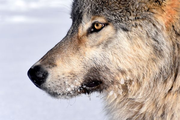 A wolf in Yukon-Charley Rivers National Park and Preserve. (Photo courtesy Mathew Sorum)