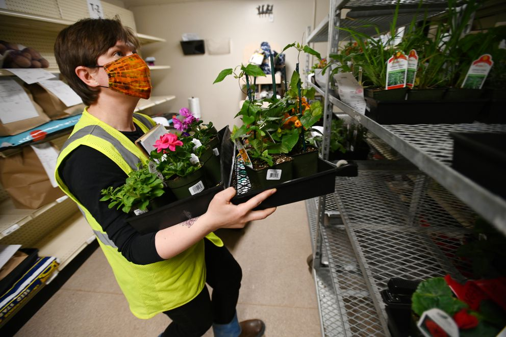 Tara Shea prepares a curbside order of plants at Alaska Mill Feed & Garden Center on Tuesday, April 14, 2020. The business is open to a limited number of customers at a time in the store and has offered curbside pickup. (Bill Roth / ADN)