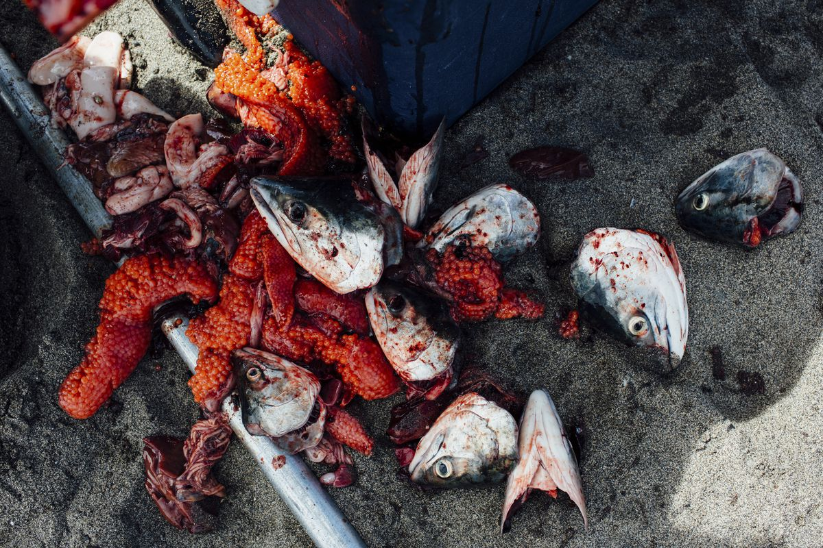 A discarded pile of roe and sockeye salmon heads at a fisherman's cleaning spot on the Kenai River in Kenai, Alaska, July 29, 2017. (Joshua Corbett/The New York Times)