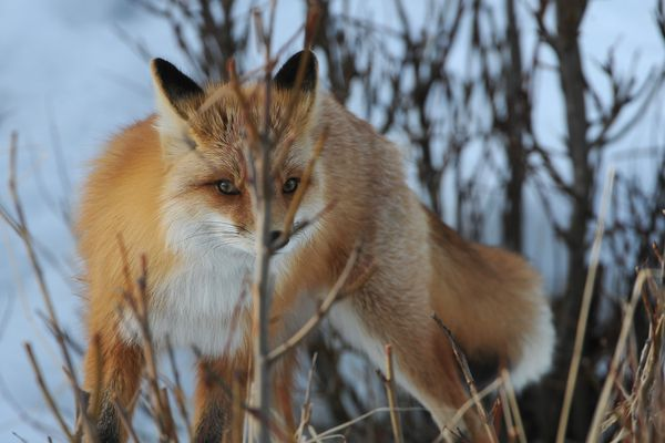 A fox comes out of the brush along the edge of a creek in south Anchorage, AK on Thursday, March 29, 2018. (Bob Hallinen / ADN)