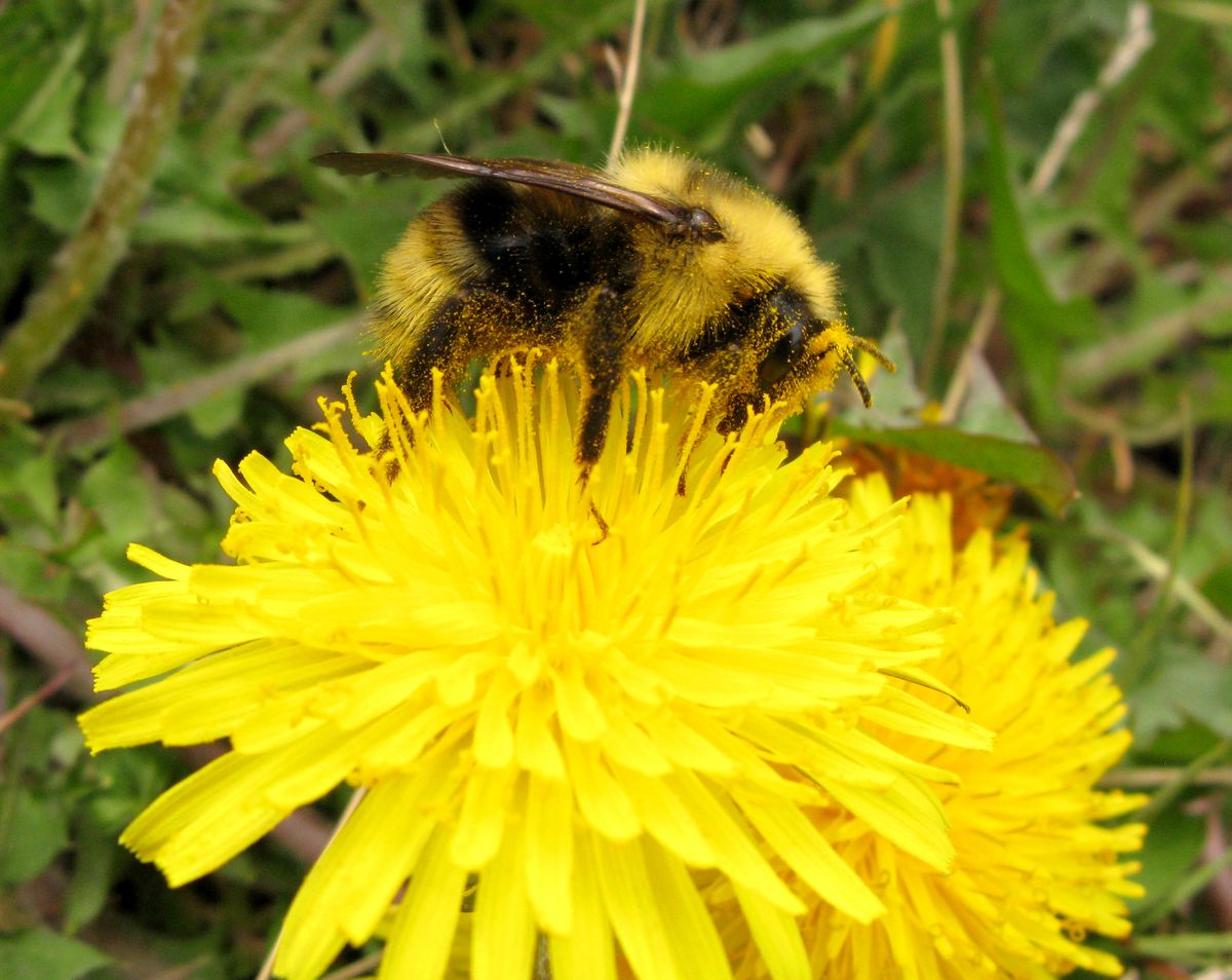 A bumblebee gathers nectar and pollen from a dandelion along Turnagain Arm. (Bob Hallinen / ADN archives)