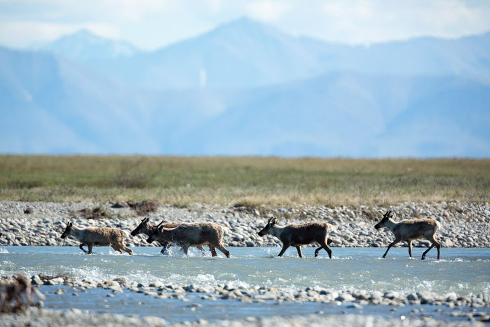 Caribou of the Porcupine herd in the Arctic National Wildlife Refuge (Asher Levin via The Wilderness Society)