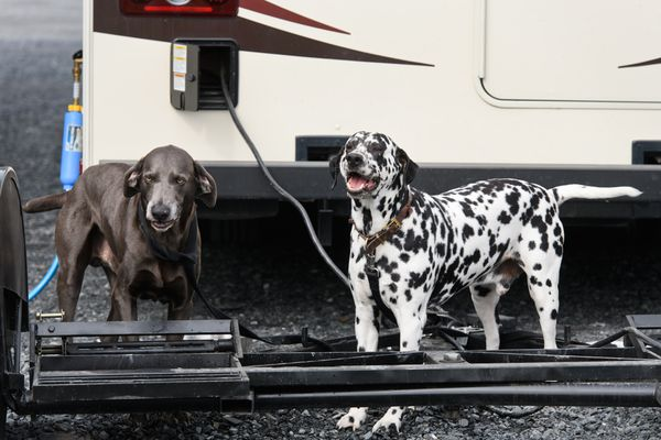 The Shaver family dogs, Ali Bears, left, and Geppetto, wait by the family's RV on June 23, 2018. (Marc Lester / ADN)