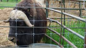 The musk ox's odyssey from Greenland to Alaska