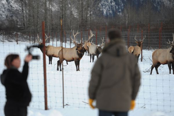 Amberlee Mucha, a casting producer for Discovery Studios interviews Mike Miller, founder and executive director of the Alaska Wildlife Conservation Center near elk in Portage on Sunday, Dec. 4, 2016. Mucha, who is in Alaska for the next two weeks, helps create non-scripted TV programs for all of Discovery's networks including the Science Channel, Animal Planet, TLC, Discovery Channel, and Velocity. (Bill Roth / Alaska Dispatch News)