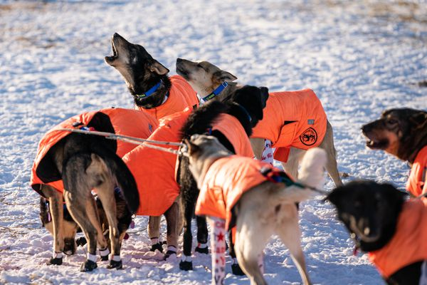 Dogs in Tim Pappas's team howl before leaving Nikolai on Tuesday, March 10, 2020 during the Iditarod Trail Sled Dog Race. (Loren Holmes / ADN)
