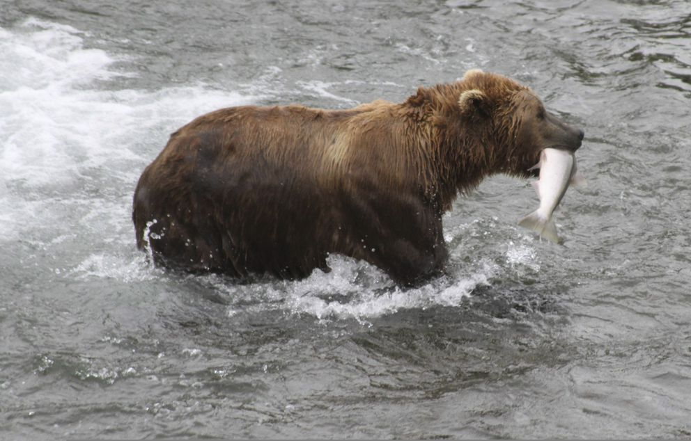 In this July 4, 2013, file photo, a brown bear walks to a sandbar to eat a salmon it had just caught at Brooks Falls in Katmai National Park and Preserve. (AP File Photo/Mark Thiessen, File)