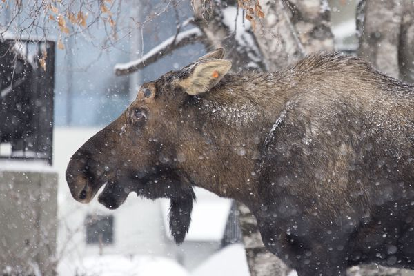 A moose feeds on Monday, Feb. 27, 2017, in Midtown. The State of Alaska Department of Fish and Game asked the public to report any moose sightings on Sunday and Monday. (Rugile Kaladyte / Alaska Dispatch News)