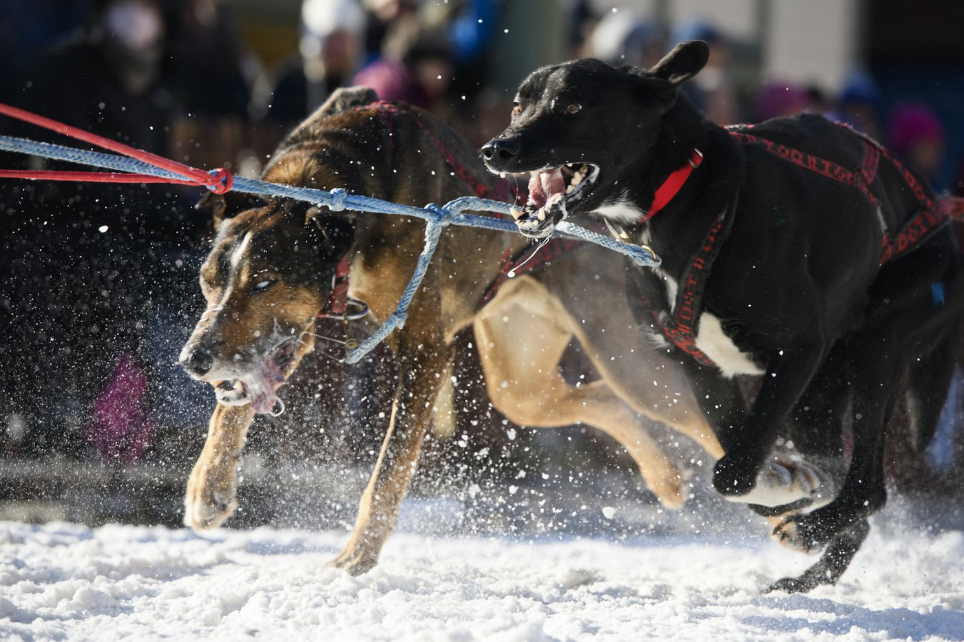 Marvin Kokrine's dogs start their race on 4th Avenue. (Marc Lester / ADN)
