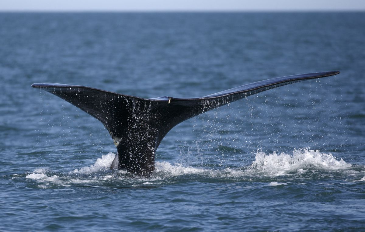 A North Atlantic right whale appears at the surface of Cape Cod bay off the coast of Plymouth, Mass. (AP Photo/Michael Dwyer, File)