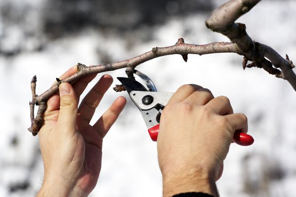 With some exceptions, late winter is the best time for Alaska gardeners to prune. (Getty)
