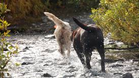 Take a setter and a lab on the same hunt? Sounds great in theory