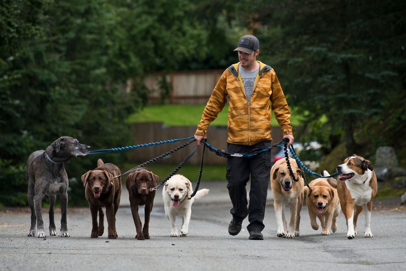 Courtney Hansen, owner of the Dog's Best Friend walking service, walks seven dogs in a neighborhood near Westchester Lagoon on August 23, 2017. (Marc Lester / Alaska Dispatch News)