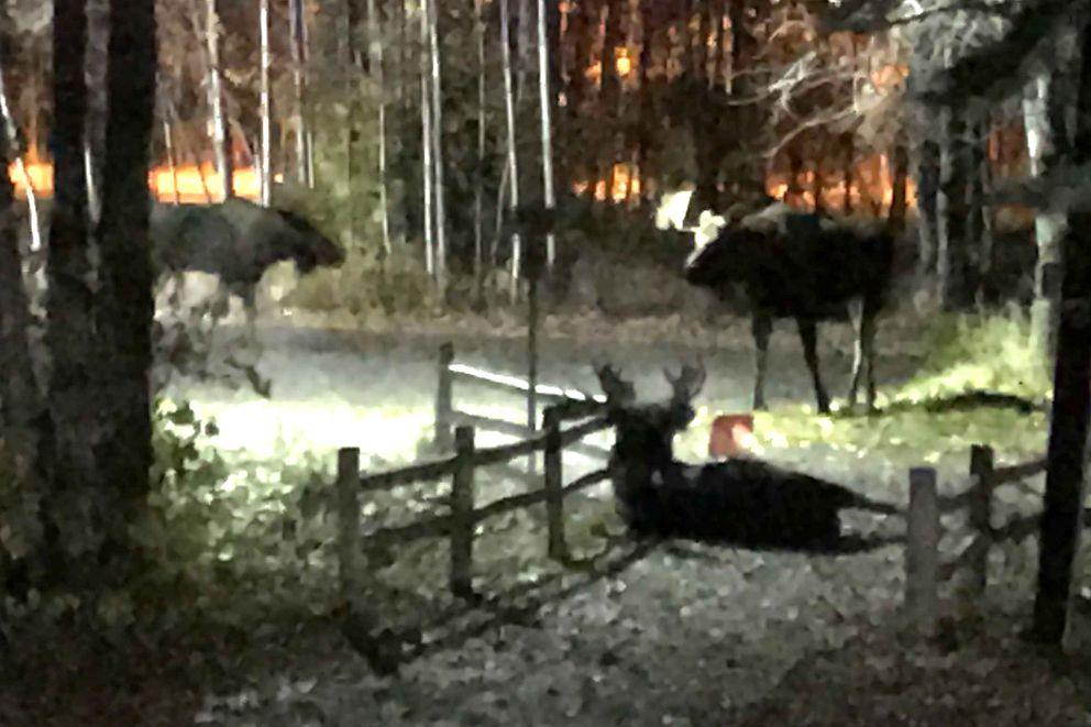 A moose lays wounded on the trail after losing a fight with the moose at left Monday night, Oct. 8, 2018. The standing moose to the right was in the area during the entire fight, and afterwards. (Anne Raup / ADN)