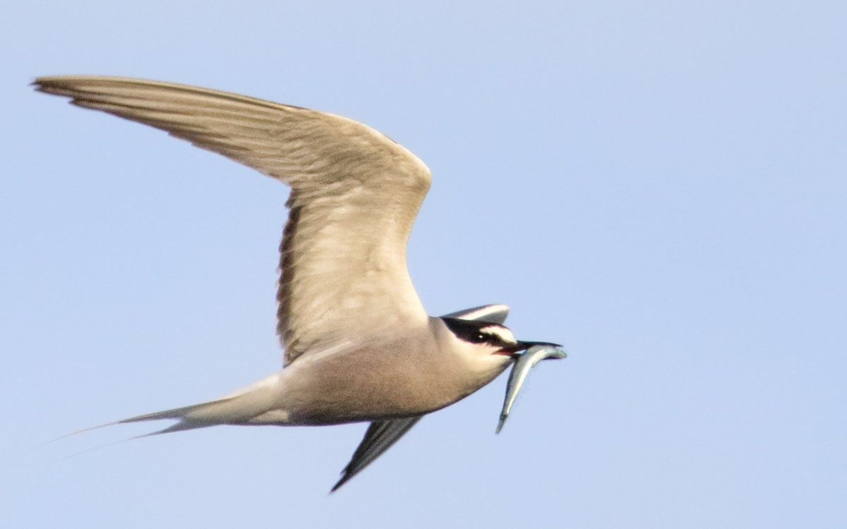 An Aleutian tern in Yakutat. (Photo by Nate Catterson)