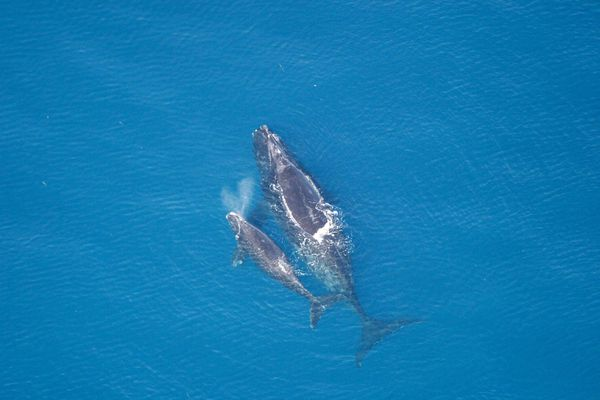 A right whale and calf in 2005. The North Pacific right whales remain critically endangered. (Courtesy NOAA/NMFS)