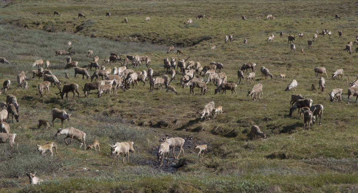 FILE — Caribou from the Porcupine herd gather in a drainage of the Brooks Range in ANWR, June 2009. (Richard J. Murphy / ADN archive)