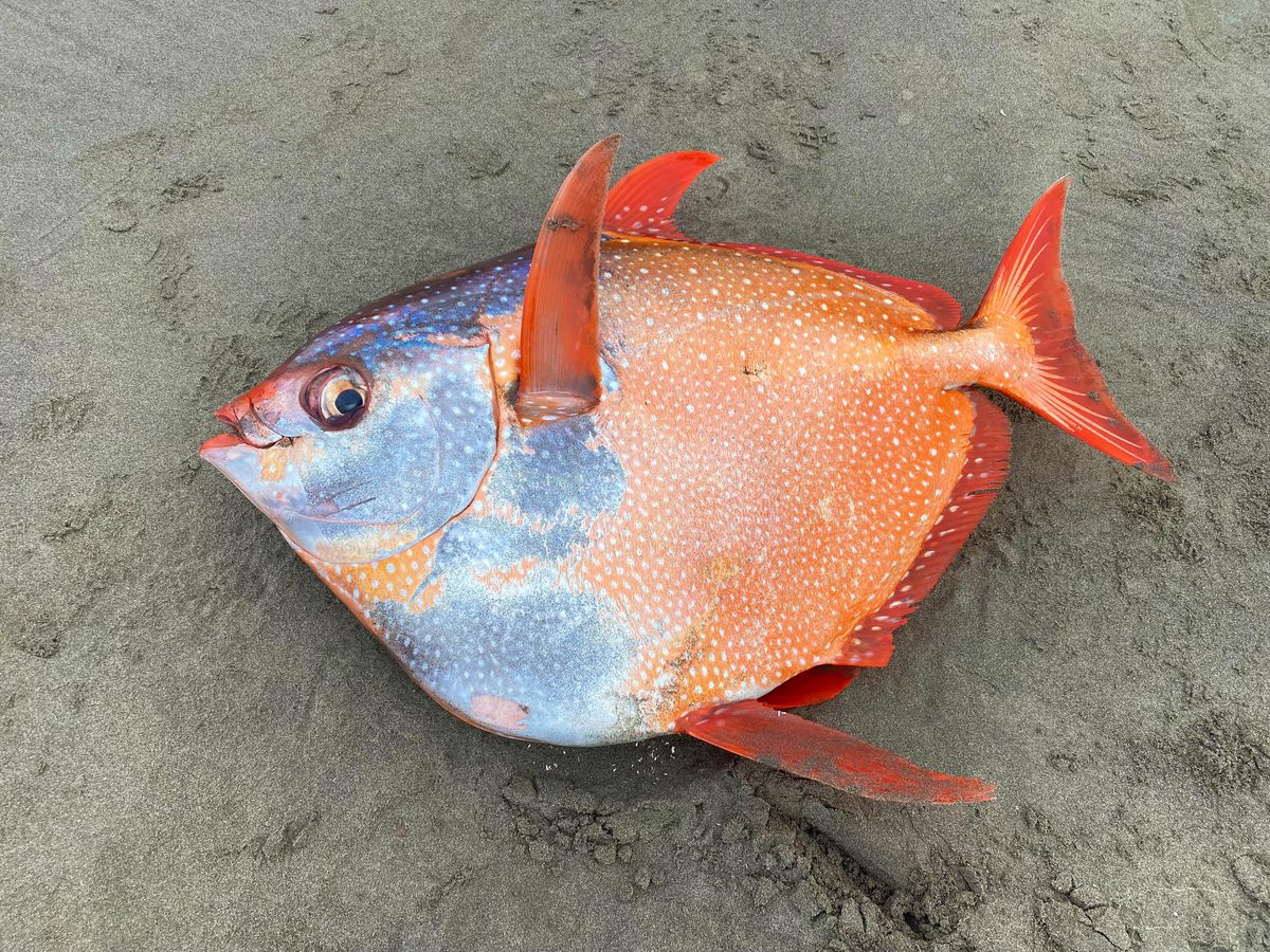 A 3 1/2 foot, 100-pound opah was found July 14 on Sunset Beach on the northern Oregon coast. Tiffany Boothe/Seaside Aquarium.