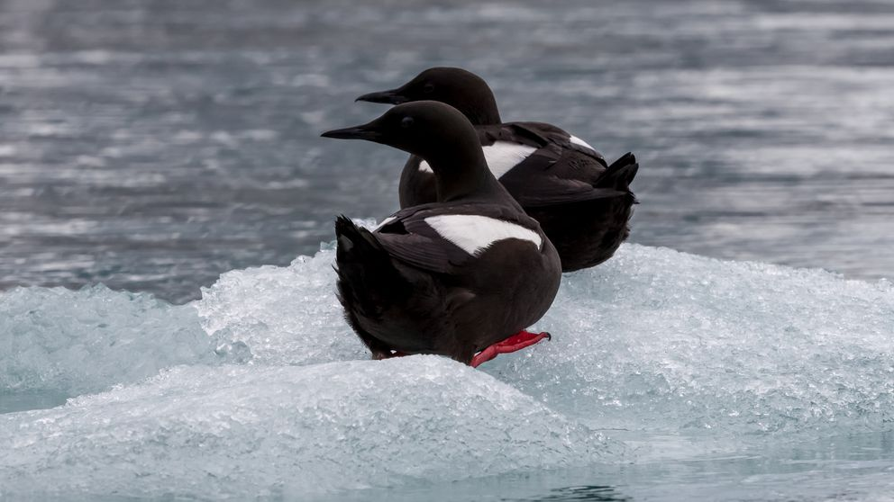 Black guillemots (Wikimedia Commons)