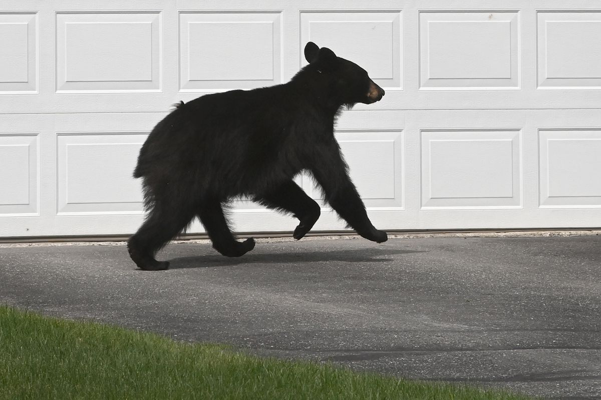 A black bear crosses a driveway of a home in Muldoon on Sunday, July 4, 2021. (Bill Roth / ADN)