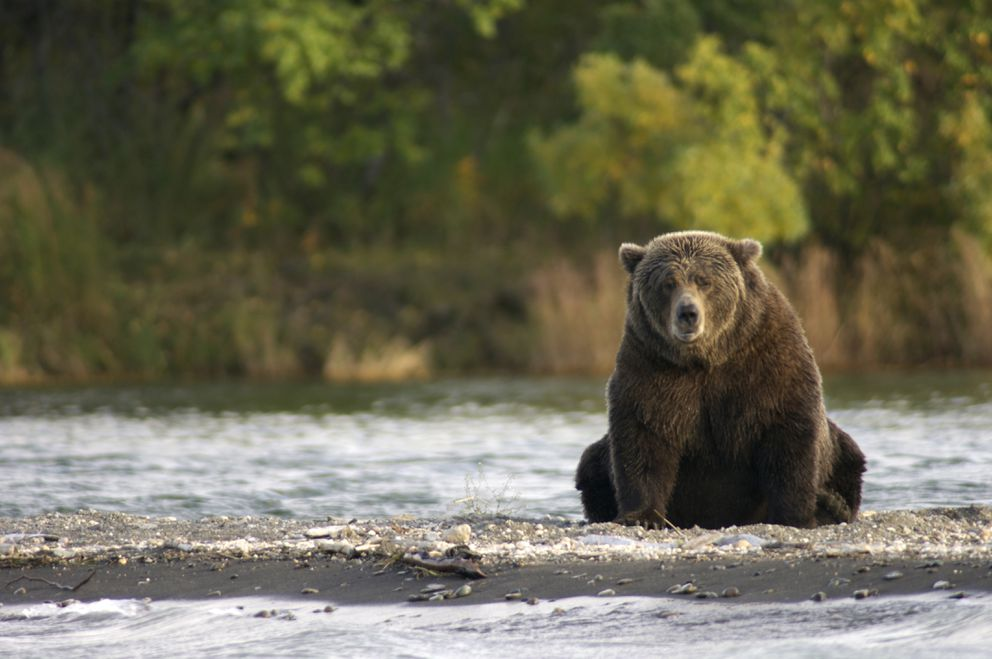 Bear 410 sits near Brooks River in Katmai National Park and Preserve. (NPS)