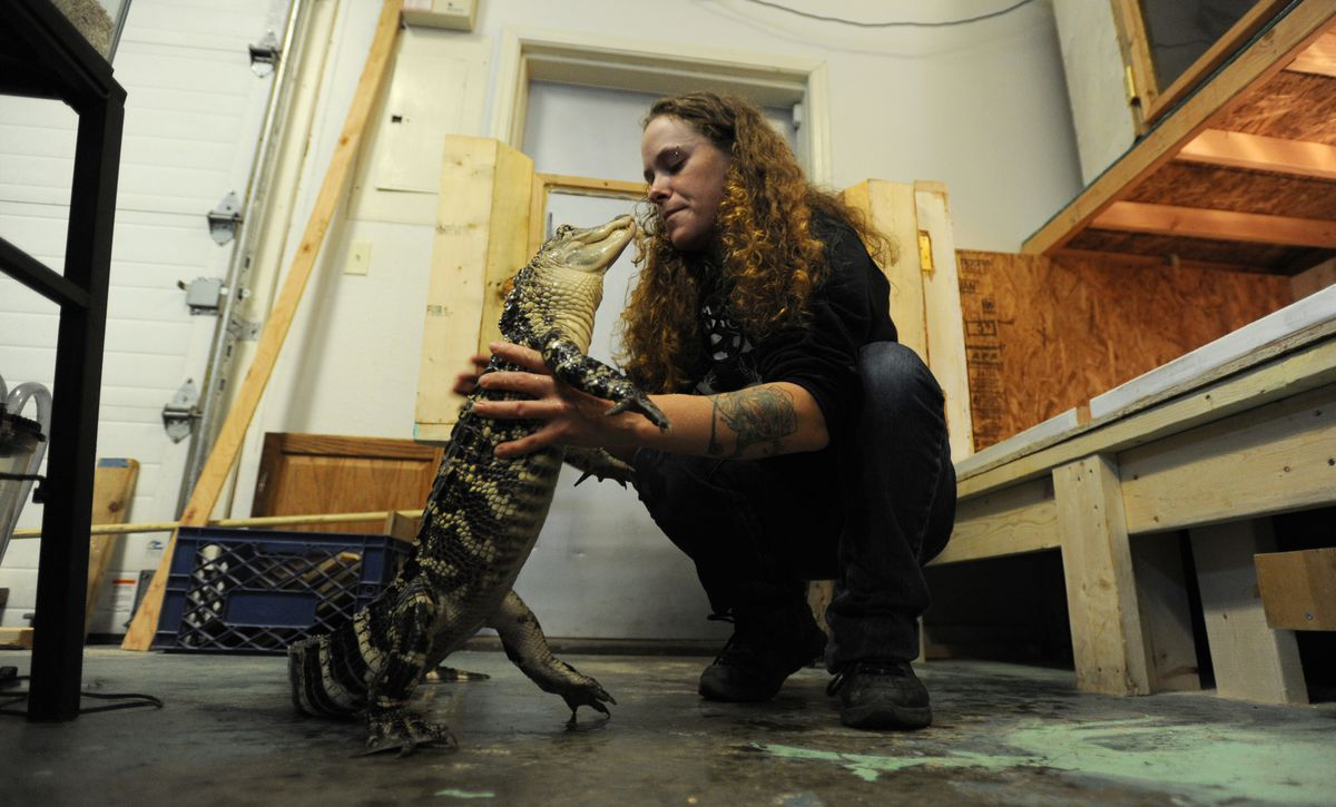 "Sheridan Perkins owner of Valley Aquatics and Reptile Rescue in Wasilla talks to Allie, an American alligator. Perkins says, ""I'm not a pet store, I'm a rescue."" (Bill Roth / Alaska Dispatch News)"