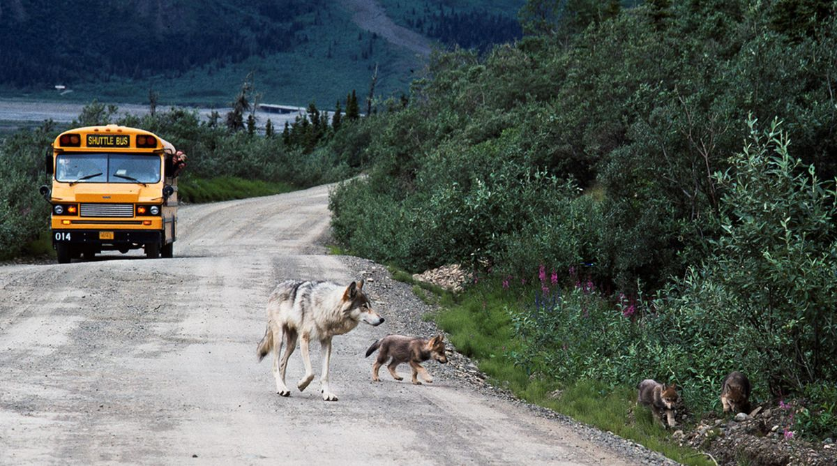 A wolf with pups walks the Denali National Park road. (Gordon Haber photo courtesy Rick Steiner)