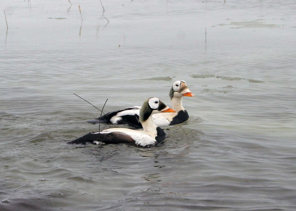 Male spectacled eiders show antennas from satellite transmitters in the Yukon Delta National Wildlife Refuge in 2008. (Rob Schuckard / U.S. Geological Survey)