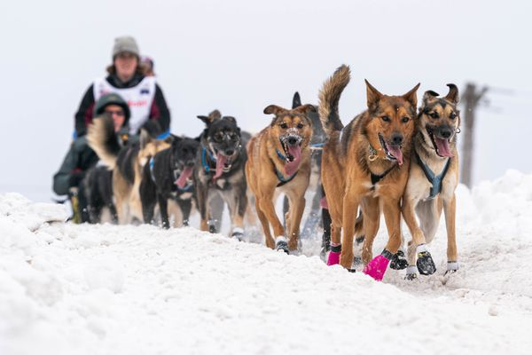 Rookie musher Kaci Murringer crests a hill on Cordova Street on Saturday, March 7, 2020 during the ceremonial start of the Iditarod Trail Sled Dog Race in Anchorage. (Loren Holmes / ADN)