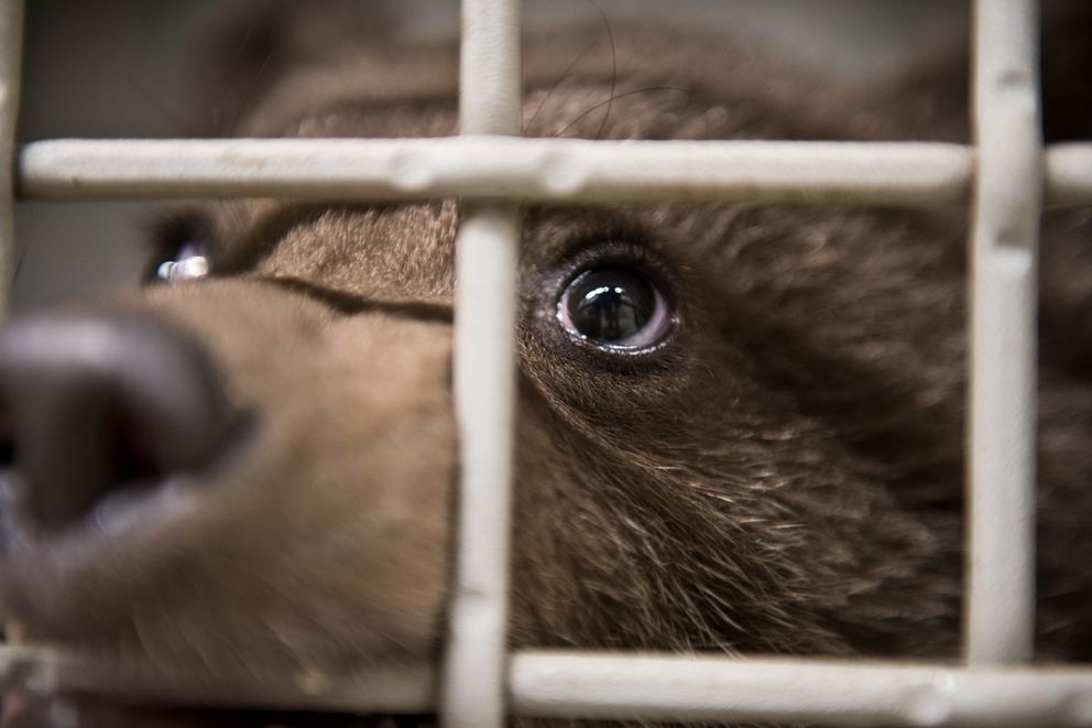 An orphaned brown bear cub looks at human visitors. (Marc Lester / ADN)