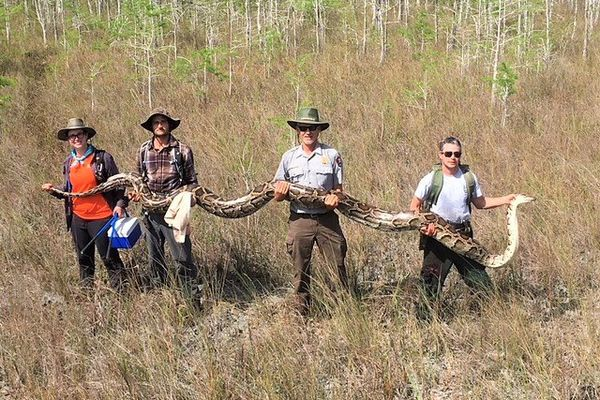 Wildlife officials say this snake is the largest Burmese python ever to be removed from Big Cypress National Preserve in the Florida Everglades. (National Park Service)