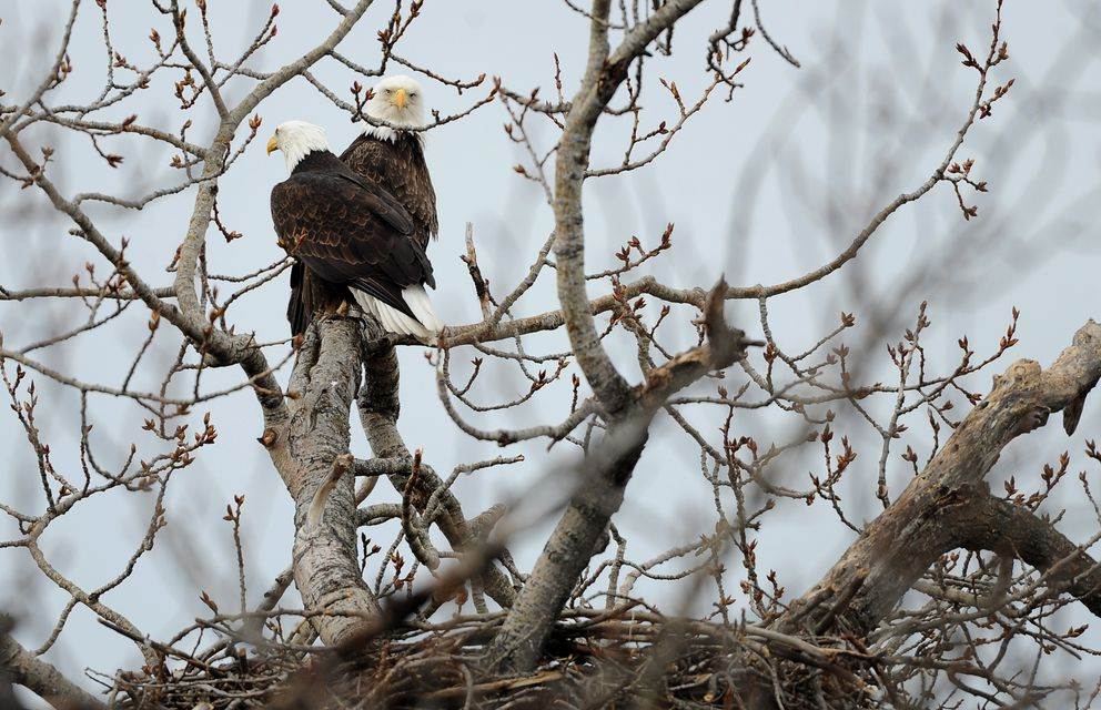 A pair of bald eagles perches in a tree above a nest in a cottonwood tree in South Anchorage. (Bob Hallinen / ADN)