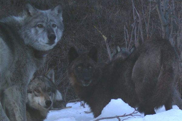 """Four members of the Riley Creek wolf pack, including the matriarch, """"Riley,"""" dig a moose carcass frozen from creek ice in May 2016. National Park Service trail camera photo."""