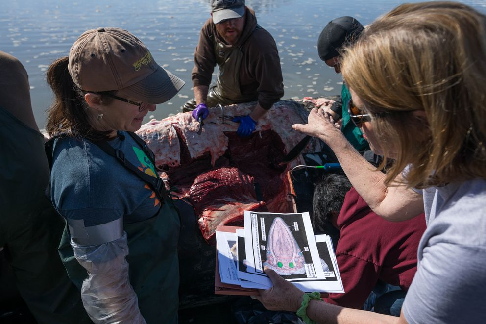 Veterinary pathologist Kathy Burek, left, consults with biologist Carol Fairfield on how to collect a humpback whale head on Wednesday, May 1, 2019. Burek was leading a group of volunteers as they dissected the animal, and Fairfield was hoping to collect the head intact in order to conduct research into how whales hear. (Loren Holmes / ADN)