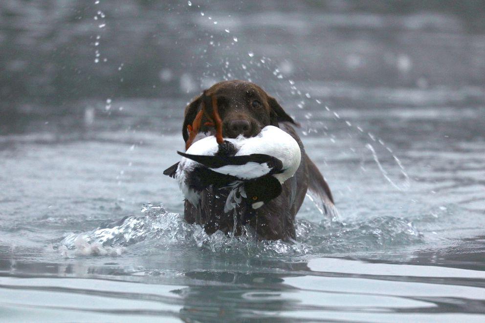 Christine Cunningham's dog Cheyenne hunt retrieves a duck in 2016. (Steve Meyer)