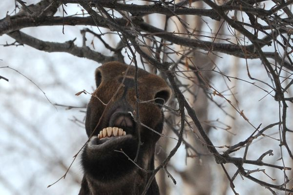 A moose trims a tree in East Anchorage while browsing on Thursday morning, March 14, 2019. (Bill Roth / ADN)