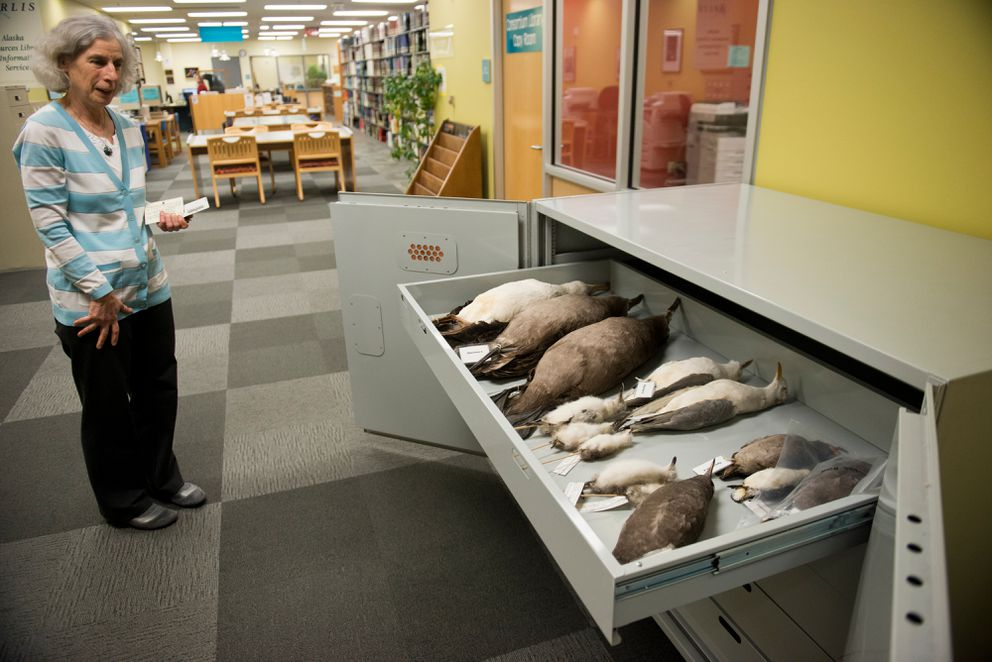 Celia Rozen shows some of the bird specimens stored in at the UAA Consortium Library. The Furs, Mounts and Skulls collection is part of Alaska Resources Library and Information Services and located inside the Consortium Library at UAA.