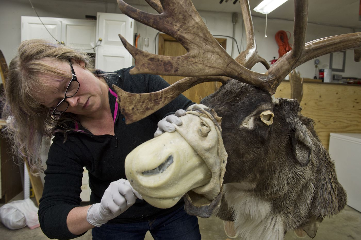 Taxidermist Andrea Radford works on a caribou mount in a shop at her Chugiak Home on November 30, 2017. Radford's business is AK's Adventures in Taxidermy, which she has operated for more than five years. (Marc Lester / ADN)