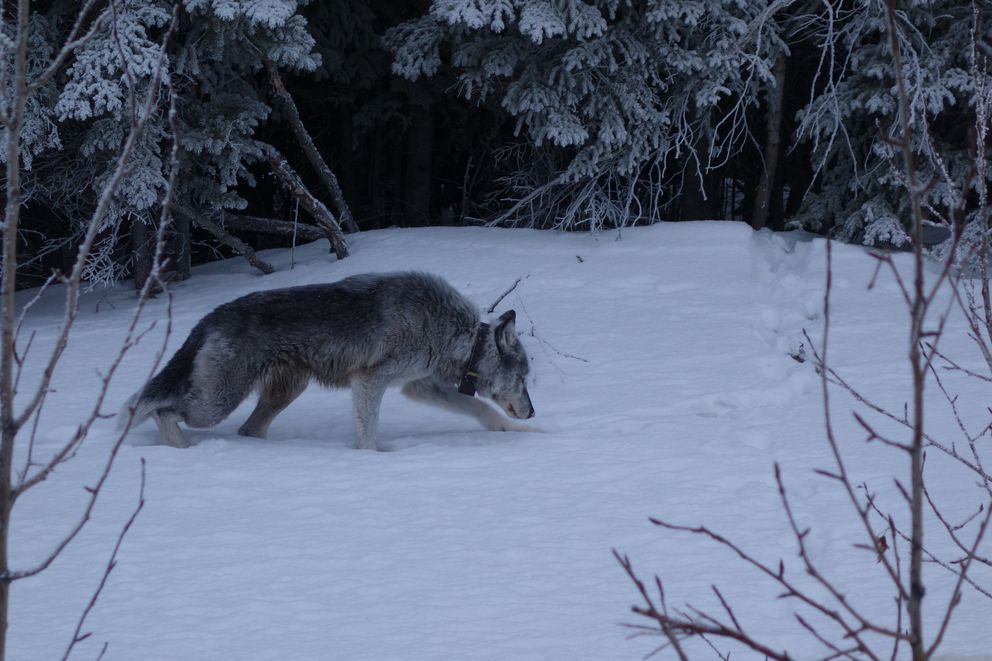 A photo of Riley the wolf alongside the Parks Highway in February 2019, when the wolf was 9 years old. (Photo by Ned Rozell)