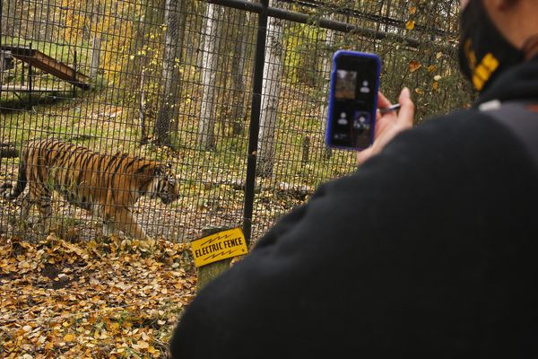Mears Middle School teacher Joanna Hubbard takes her seventh grade students on a virtual field trip over Zoom, showing them a tiger at the Alaska Zoo, on Sept. 29, 2020.