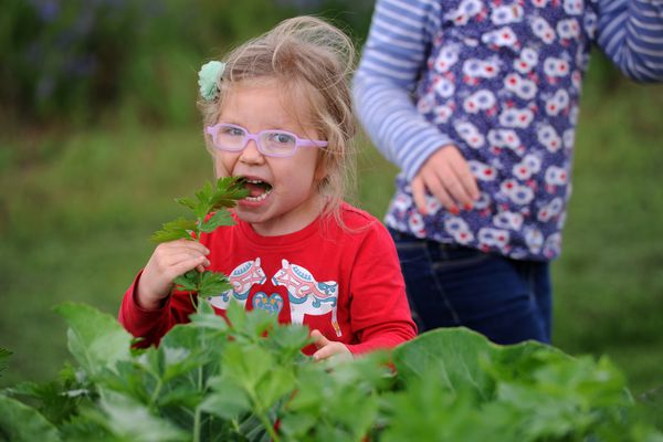 Ellen Bruckner, 3, chomps on celery while visiting the Grow Palmer community garden with sister Tessa, 6, and mom Froukje Bruckner on Thursday, August 3, 2017, near the Palmer Depot. The Grow Palmer volunteer urban agriculture group, with approval from the city, has created a series of crop-filled planters dubbed the