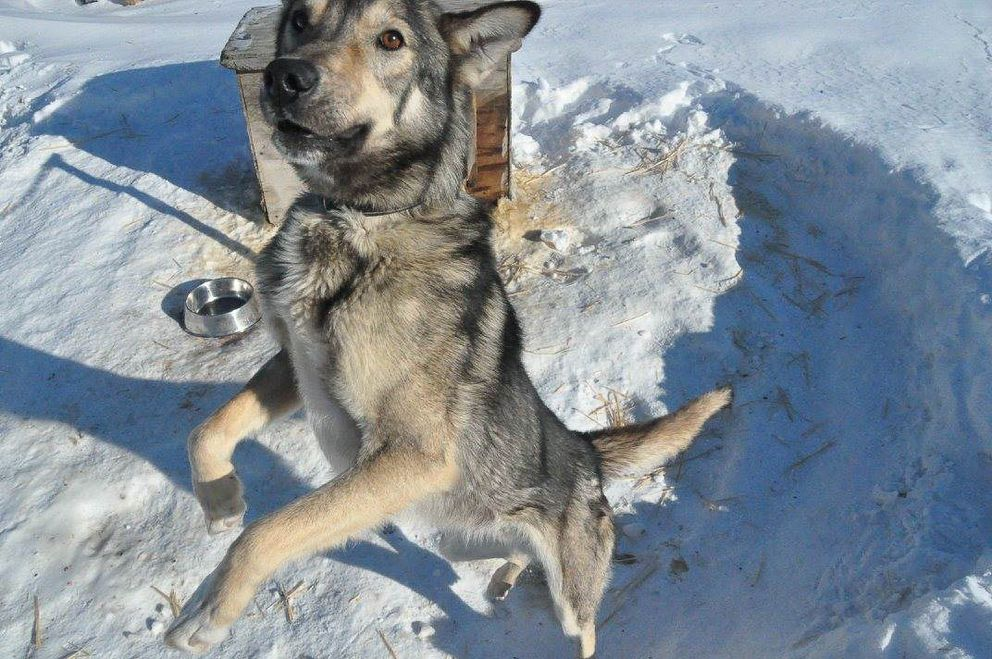 Scott Smith's dog Smoke in February 2017. Smoke died while in transit from Galena late Friday after Smith dropped the dog earlier in the Iditarod Trail Sled Dog Race. (Briana Mackay)