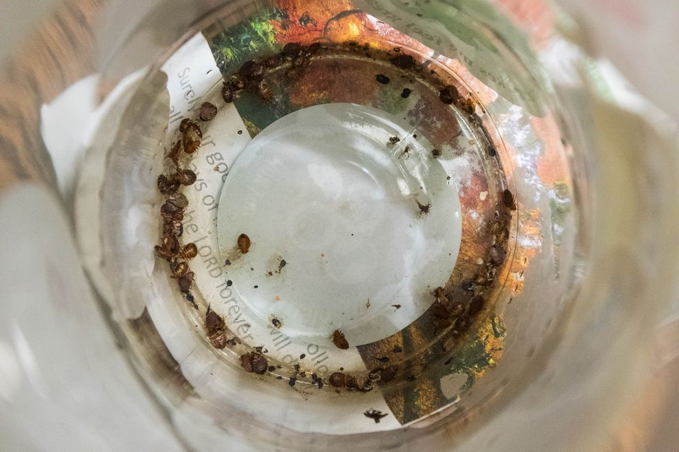 Bedbugs are collected in a glass jar in Portia Belshe's room Wednesday, Nov. 14, 2018 at the Mush Inn Motel. Belshe moved into the $800 per month room in May and has had problems with bedbugs and cockroaches ever since. (Loren Holmes / ADN)