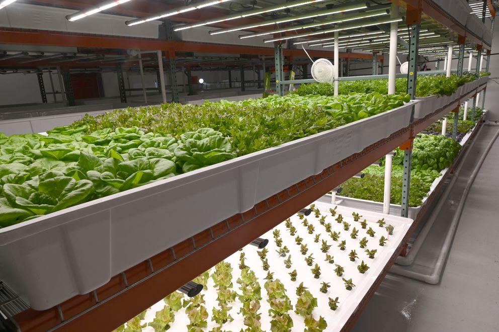 Plants grow at Anchorage Greens, Jan. 3, 2020. (Anne Raup / ADN)