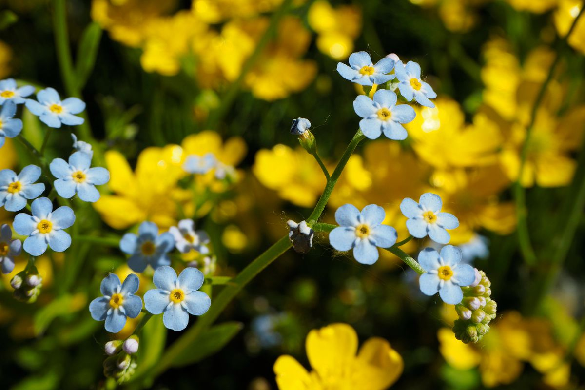 Forget-me-not flowers grow together along the Alyeska Highway in Girdwood on Thursday, June 16, 2016. (Marc Lester / Alaska Dispatch News)