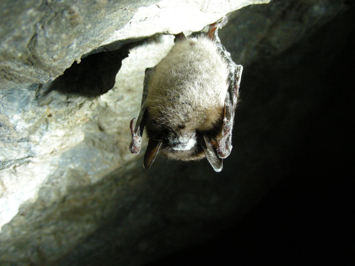 A little brown bat with white nose syndrome in Greeley Mine, Vermont, March 26, 2009. (Marvin Moriarty / U.S. Fish and Wildlife Service)