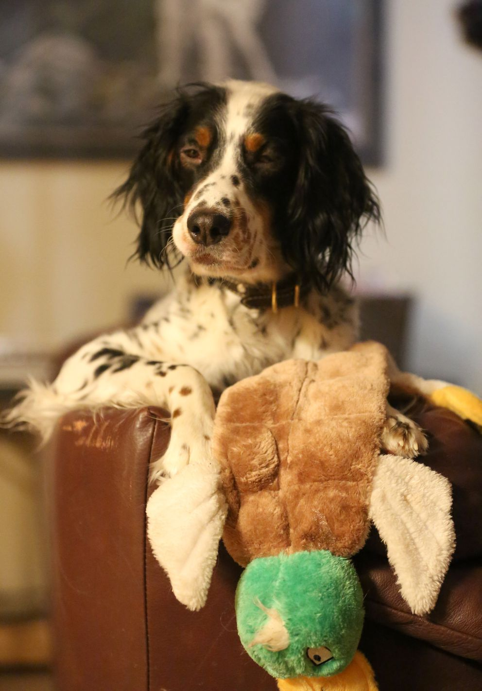 Purdey, perched on the back of the sofa with a favorite toy she got for Christmas. (Steve Meyer)